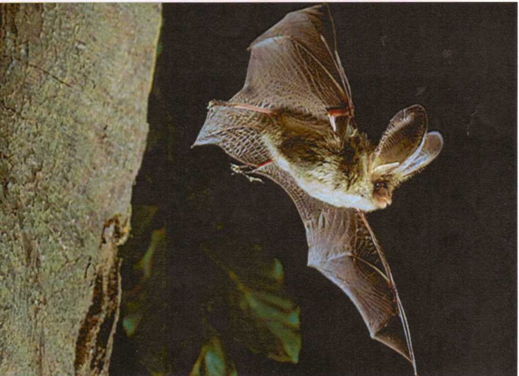 A brown long eared bat