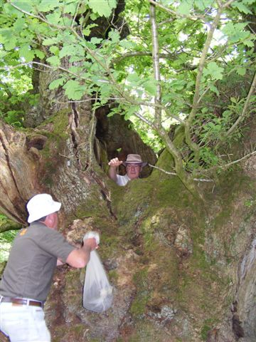 Placing an insect trap in the hollow of an ancient oak tree